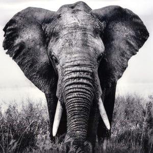 fotografia impresa ELEPHANT