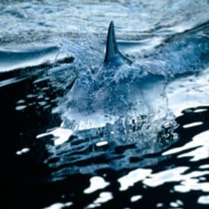 Cuadro Metacrilato Aleta Tiburon